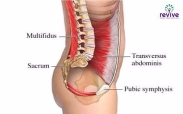 The Abdominal muscles - functional brace to support our lower back