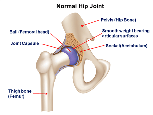 Normal Hip Joint - Developmental Dysplasia of the Hip - Revive Physiotherapy and Pilates