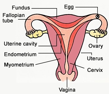 Female Reproductive System - Revive Physiotherapy and Pilates